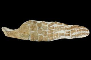 Reptile & Amphibian Fossils For Sale