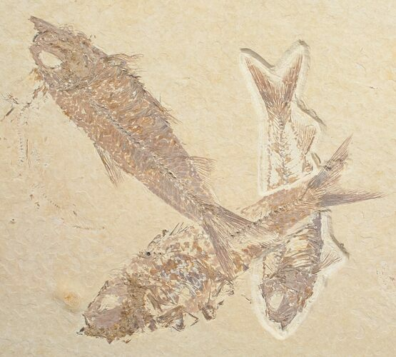 Knightia Fossil Fish Multiple