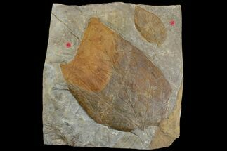 Two Fossil Leaves (Platanus) - Montana For Sale, #165014