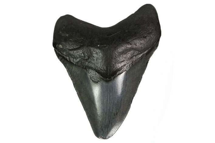"3.14"" Fossil Megalodon Tooth - South Carolina"