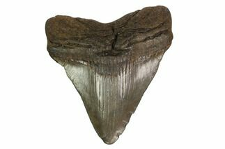 "Buy 2.64"" Juvenile Megalodon Tooth - South Carolina - #164953"