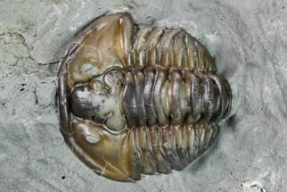 "Buy Bargain, .75"" Flexicalymene Trilobite - Mt. Orab, Ohio - #165364"