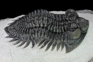 "2.5"" Coltraneia Trilobite Fossil - Huge Faceted Eyes For Sale, #165845"