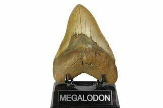 Carcharocles megalodon - Fossils For Sale - #164880