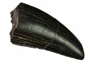 "Buy Serrated, .9"" Tyrannosaur Tooth - Two Medicine Formation - #165952"