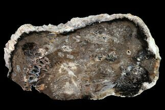 "5.7"" Polished Petrified Wood Slab - Nevada For Sale, #166490"