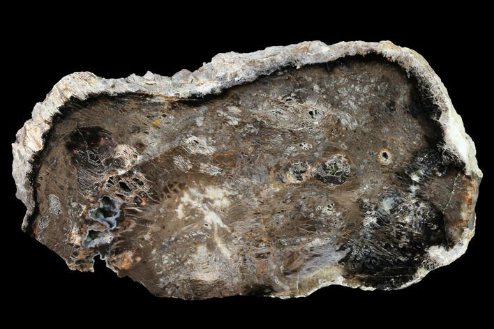 "5.7"" Polished Petrified Wood Slab - Nevada"