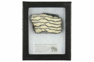 Mammuthus columbi - Fossils For Sale - #165138