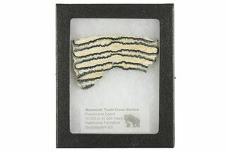 "Buy 2.8"" Mammoth Molar Slice with Case - South Carolina - #165139"