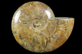"Buy 7.6"" Polished Ammonite Fossil - Madagascar - #166687"
