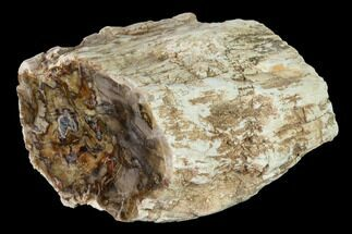 "Buy 3.5"" Long Petrified Wood (Araucaria) Limb - Madagascar  - #166597"