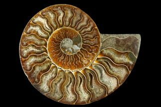 "Buy 4.35"" Cut & Polished Ammonite Fossil (Half) - Madagascar - #166816"