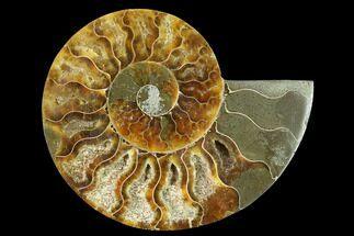 Cleoniceras - Fossils For Sale - #166824