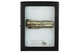 Mammuthus columbi - Fossils For Sale - #165111