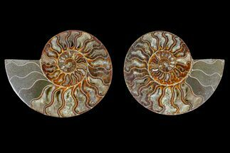 Cleoniceras sp. - Fossils For Sale - #166896