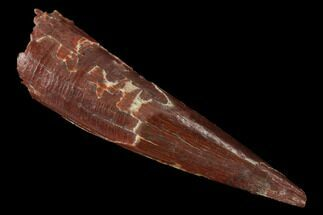 ".78"" Fossil Pterosaur (Siroccopteryx) Tooth - Morocco For Sale, #167126"