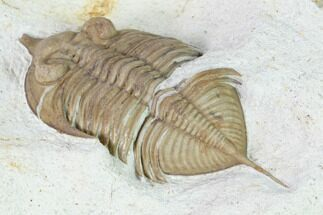 "Buy Bargain, 2.65"" Huntonia Trilobite - Black Cat Mountain, Oklahoma - #168853"