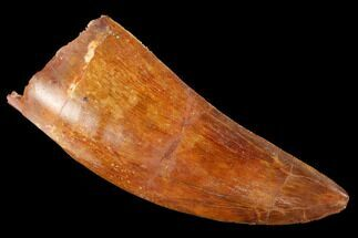"2.96"" Serrated, Carcharodontosaurus Tooth - Real Dinosaur Tooth For Sale, #169709"