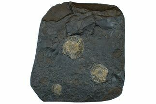 "Buy 6.7"" Dactylioceras Ammonite Cluster - Posidonia Shale, Germany - #169471"