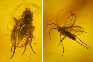 Buy Two Fossil Flies (Diptera) In Baltic Amber - #170074