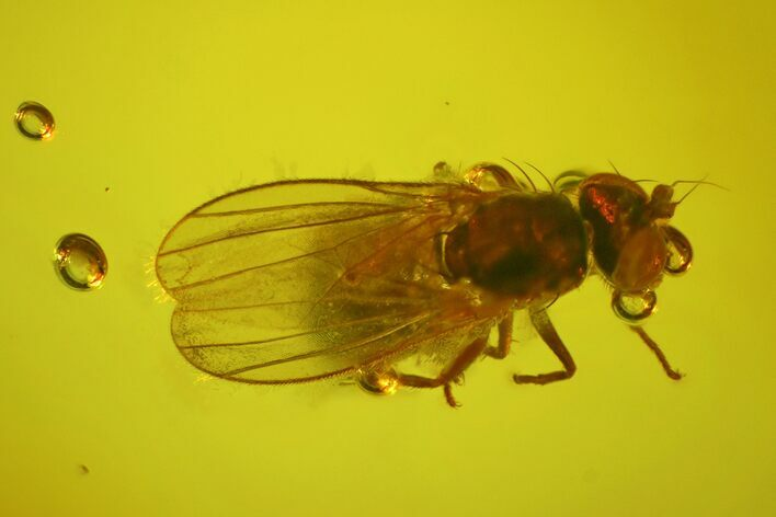 Fossil Fly (Diptera) In Baltic Amber