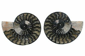 "Buy 7.6"" Cut/Polished Ammonite Fossil (Pair) - Unusual Black Color - #169705"
