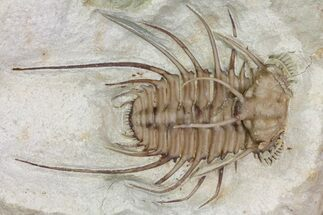 "1.6"" Rare, Spiny Ceratonurus Trilobite - Black Cat Mountain For Sale, #170264"
