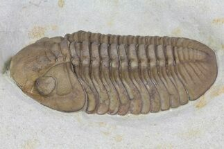 "Buy 2.2"" Lochovella (Reedops) Trilobite - Black Cat Mountain, Oklahoma - #170272"