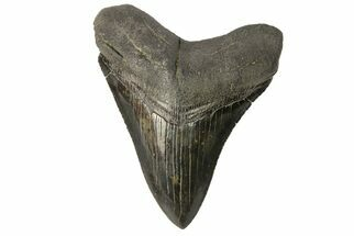 "Serrated, 3.74"" Fossil Megalodon Tooth - Beautiful Enamel For Sale, #168038"