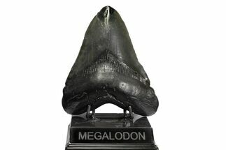 Carcharocles megalodon - Fossils For Sale - #168876