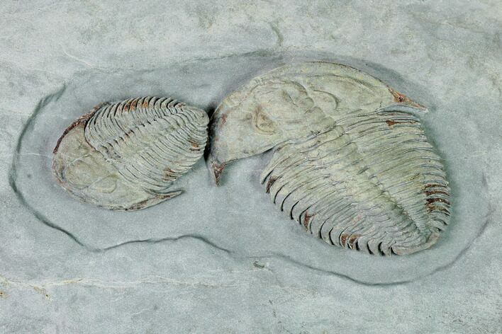 Two Lower Cambrian Trilobites (Longianda) - Issafen, Morocco