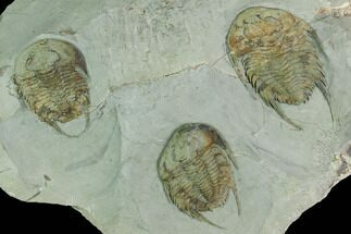 Three Lower Cambrian Trilobites (Neltneria) - Issafen, Morocco For Sale, #170636