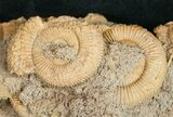 Dactylioceras Ammonite Cluster - Germany - #11183-3
