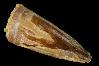 "Buy 1.32"" Partial Spinosaurus Tooth - Real Dinosaur Tooth - #172324"