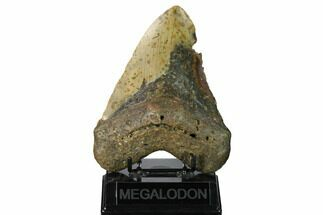 "Buy Huge, 5.93"" Fossil Megalodon Tooth - North Carolina - #172606"