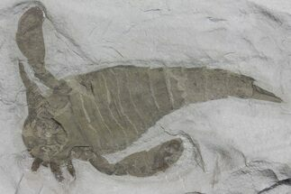 Eurypterus remipes - Fossils For Sale - #173025