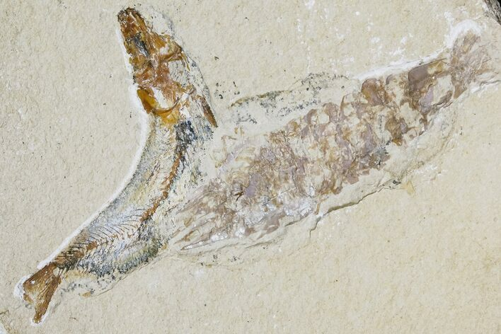 "2.45"" Cretaceous Fossil Fish (Gaudryella) and Shrimp - Hjoula, Lebanon"