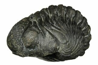 "1.6"" Wide, Enrolled Pedinopariops Trilobite For Sale, #171569"
