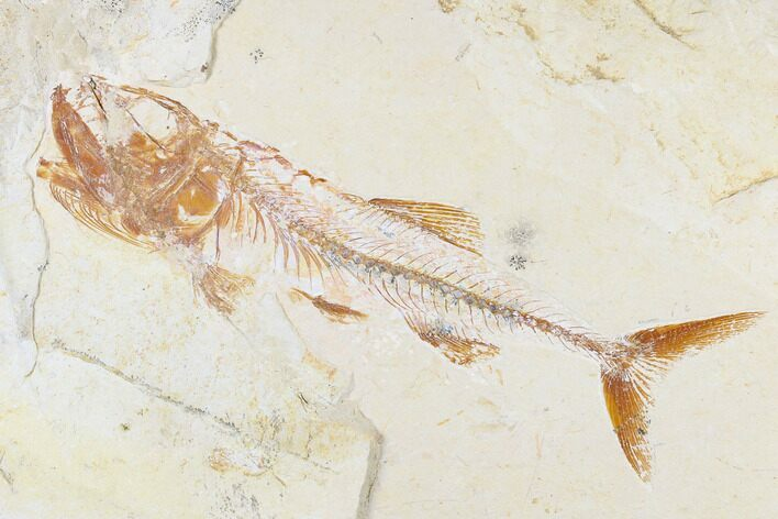 "6.1"" Cretaceous Fish (Spaniodon) With Shrimp - Lebanon"