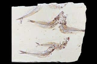 Scrombroclupea sp. - Fossils For Sale - #173373