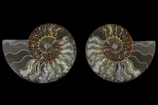 Cleoniceras sp. - Fossils For Sale - #166902