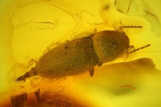 Buy Detailed Fossil Beetle (Coleoptera) in Baltic Amber - #173635