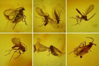 Seven Fossil Flies (Diptera) In Baltic Amber For Sale, #173636