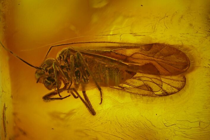 Detailed Fossil Barklouse (Psocoptera) In Baltic Amber