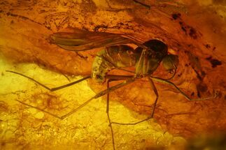 Fossil Fly (Diptera) and Beetle (Coleoptera) In Baltic Amber For Sale, #173690