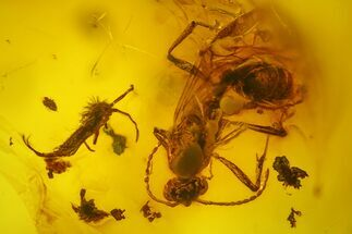 Buy Fossil Fly, Springtail, Ant and Wasp in Baltic Amber - #173716