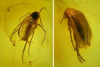 Fossil Fly (Diptera) and Beetle (Coleoptera) In Baltic Amber For Sale, #173693