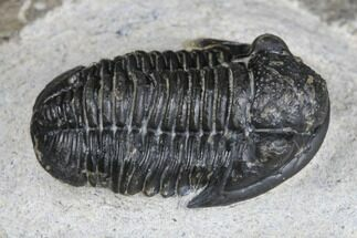 "Buy 1"" Detailed Gerastos Trilobite Fossil - Morocco - #173758"