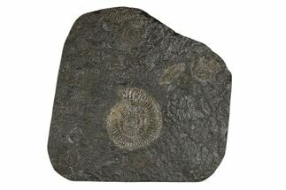 "6.5"" Dactylioceras Ammonite Cluster - Posidonia Shale, Germany For Sale, #174254"
