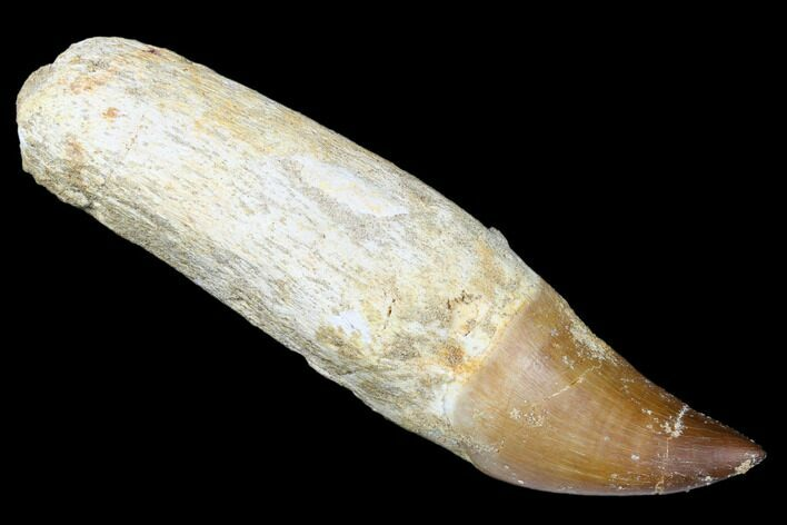 "4.4"" Fossil Rooted Mosasaur (Prognathodon) Tooth - Morocco"